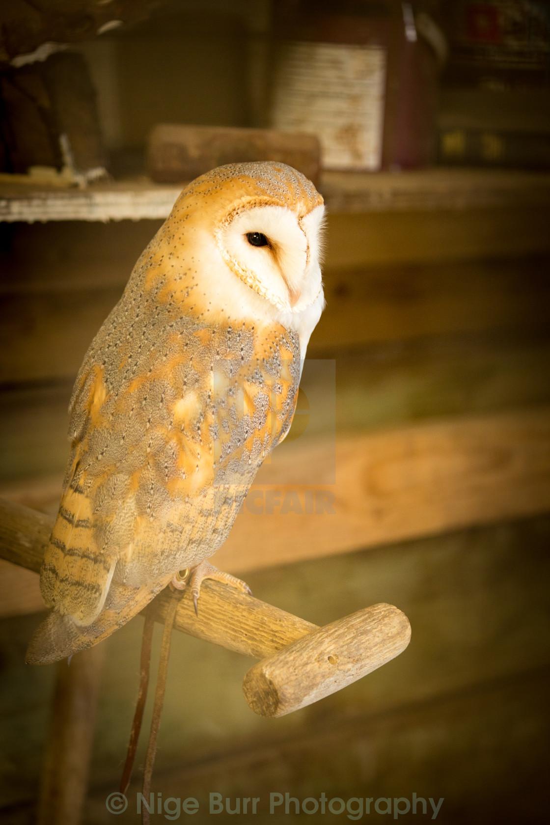 """Barn owl in its barn"" stock image"