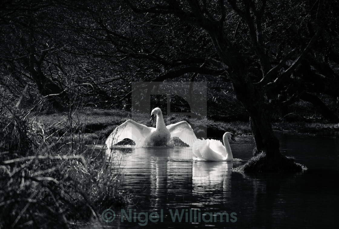 """Swanning Around"" stock image"