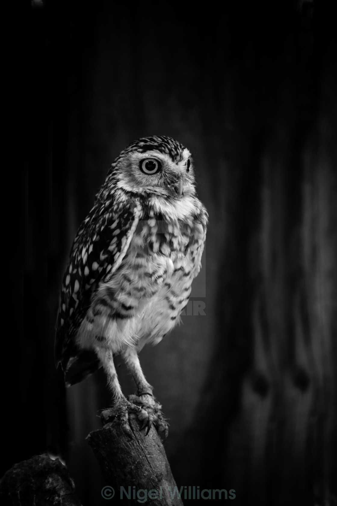"""Burrowing Owl in Black and White"" stock image"