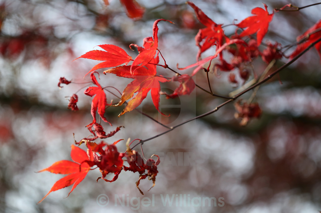 """Red Leaves"" stock image"