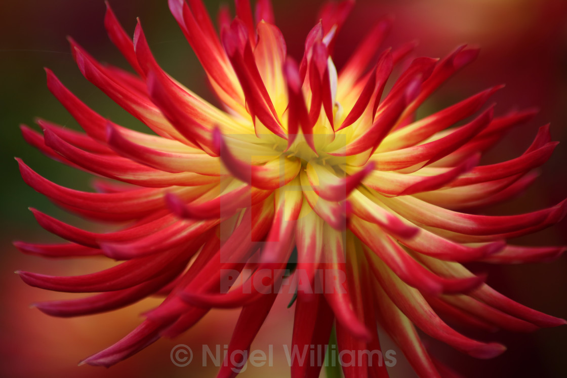 """Red and Yellow Dahlia"" stock image"