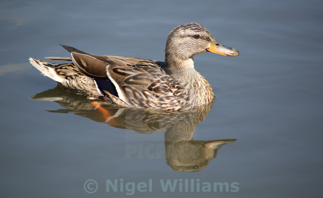 """Mallard Reflection"" stock image"