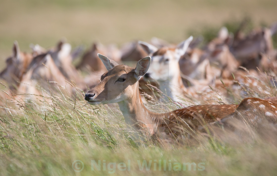 """Fallow Deer Lying Down"" stock image"