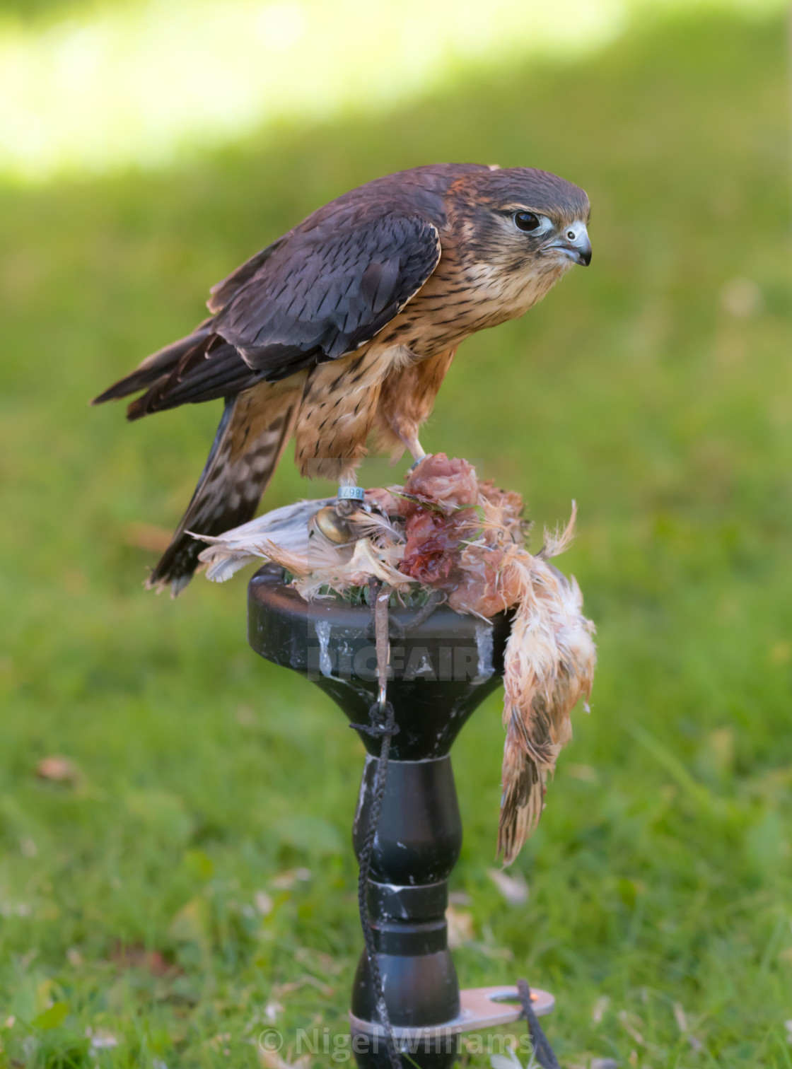 """Merlin Feeding"" stock image"