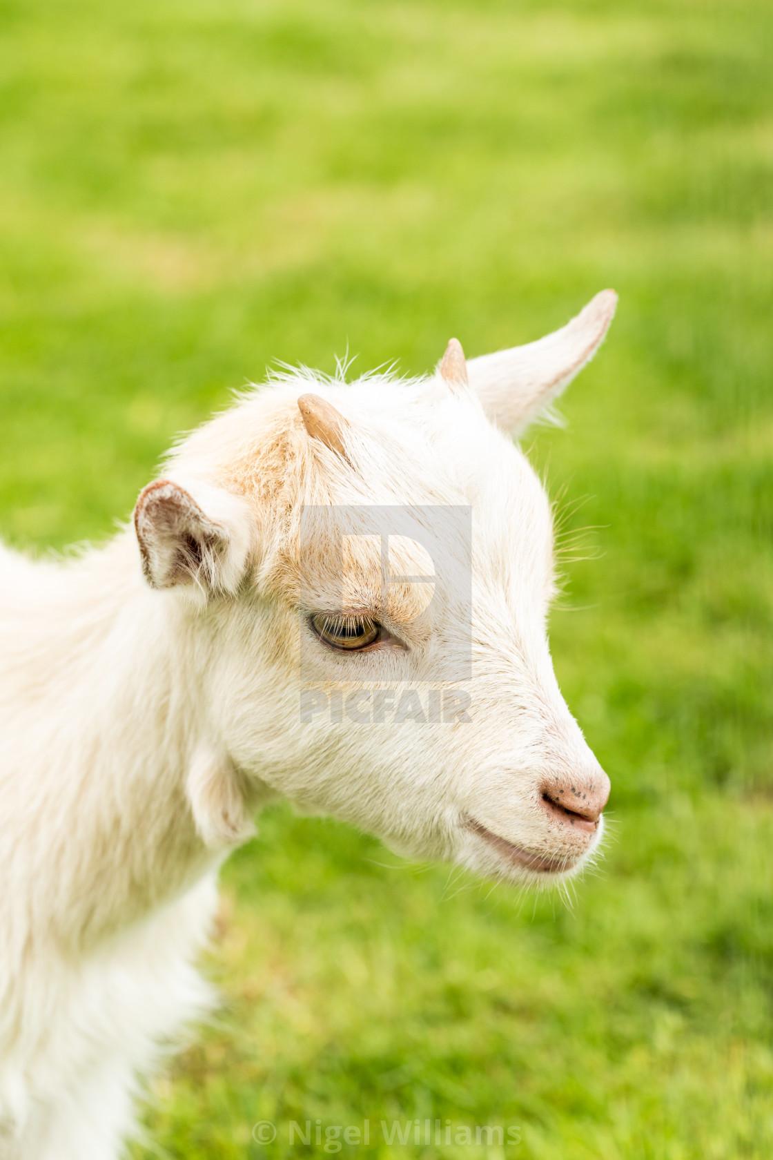 """""""Miniature Goat Portrait"""" stock image"""