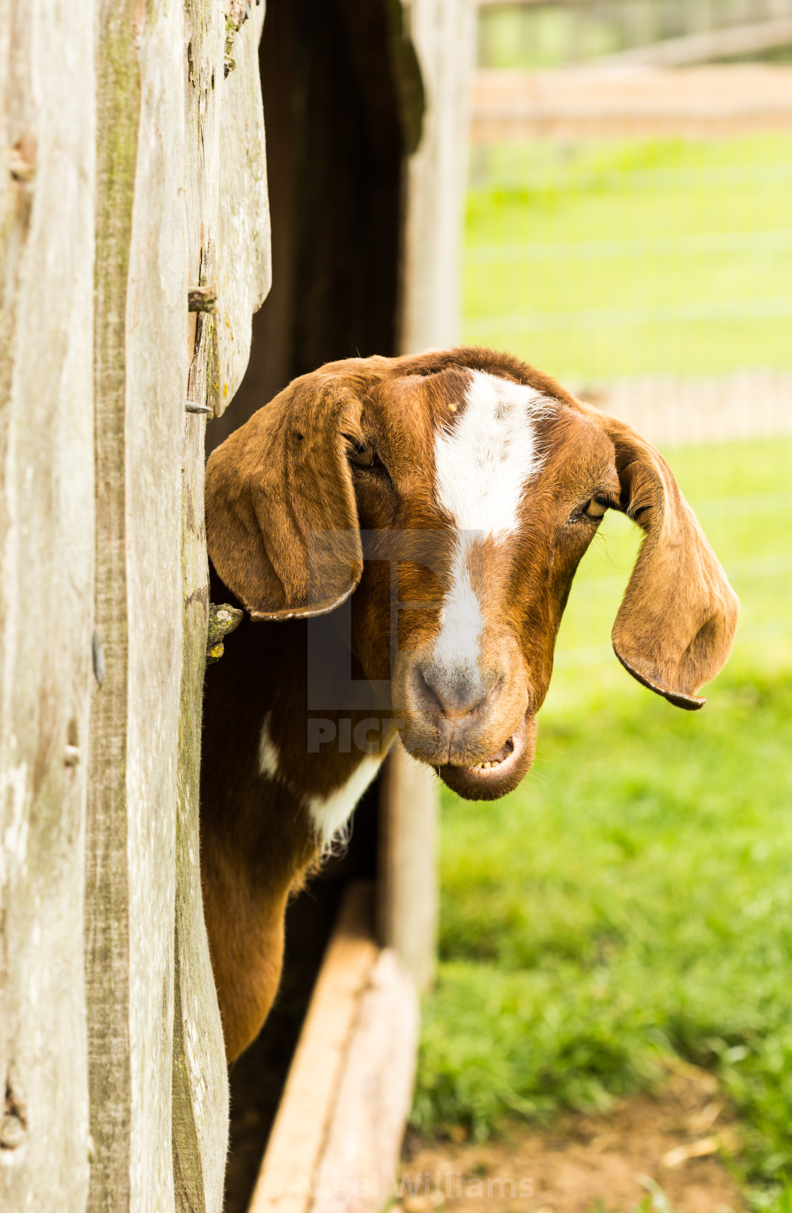 """Watched by a Goat"" stock image"