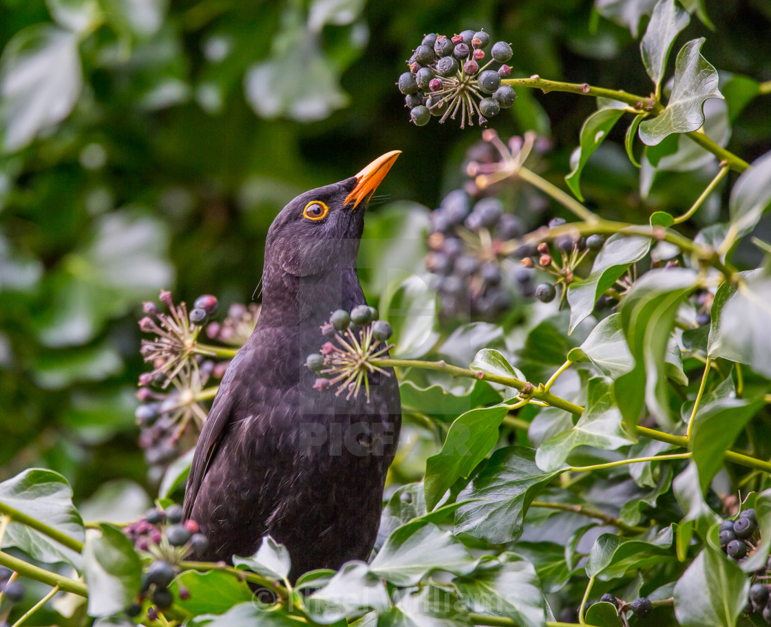 """Blackbird Feeding"" stock image"