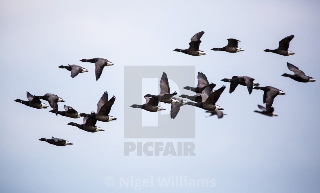 """Brent Geese in Flight"" stock image"