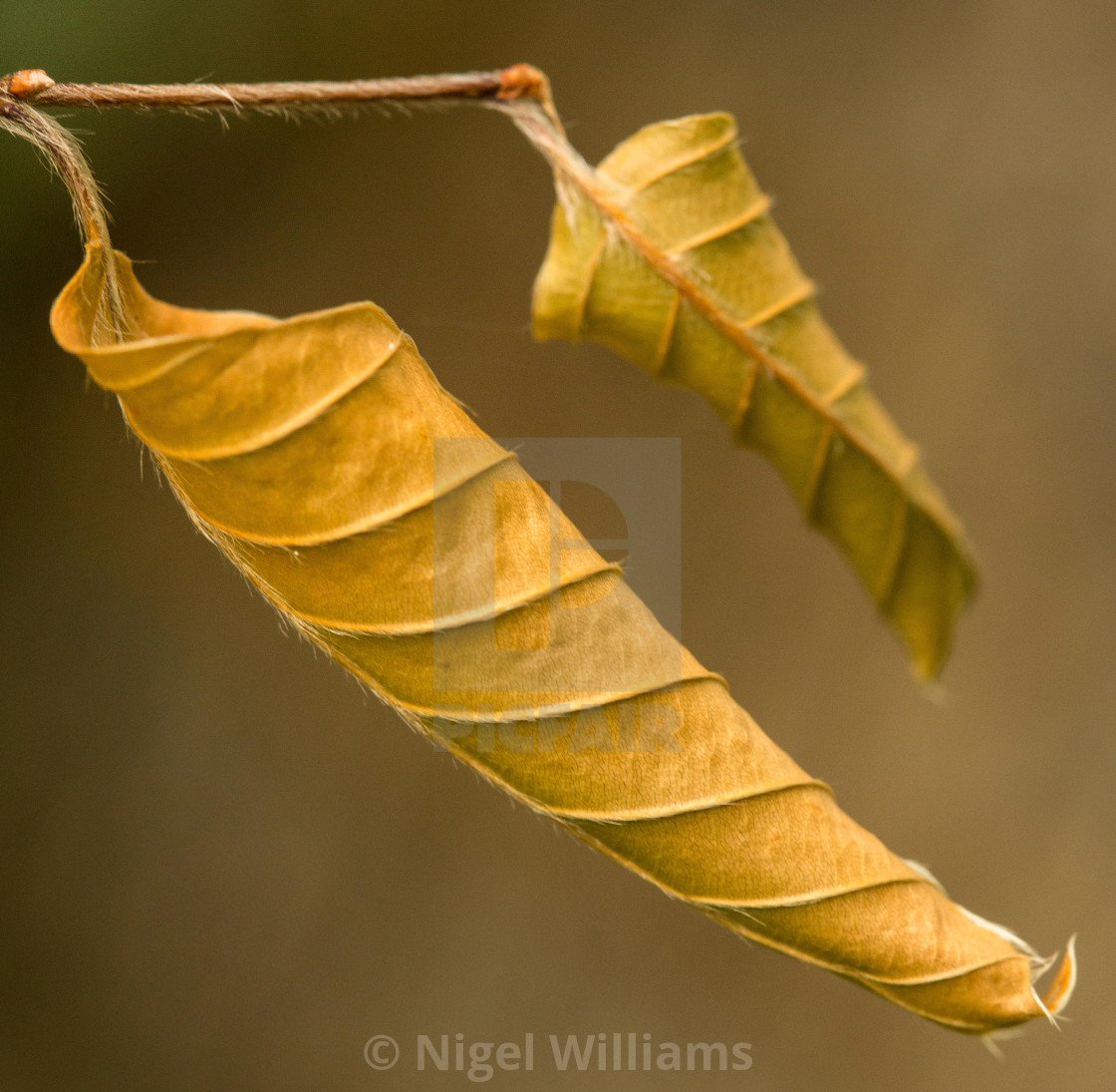 """Curled Autumn Leaf"" stock image"