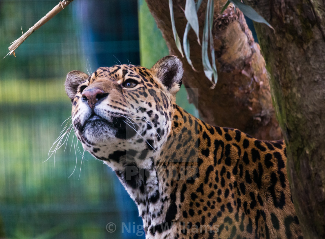 """Jaguar Looking"" stock image"