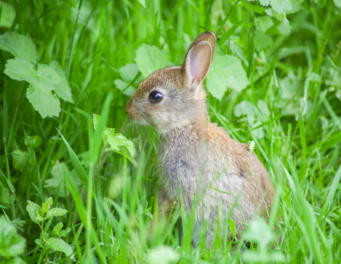 """Young Rabbit"" stock image"