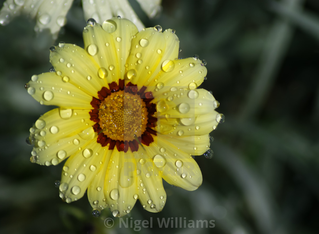 """Water Droplets on Flower"" stock image"