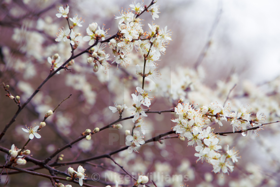 """Blackthorn in April"" stock image"