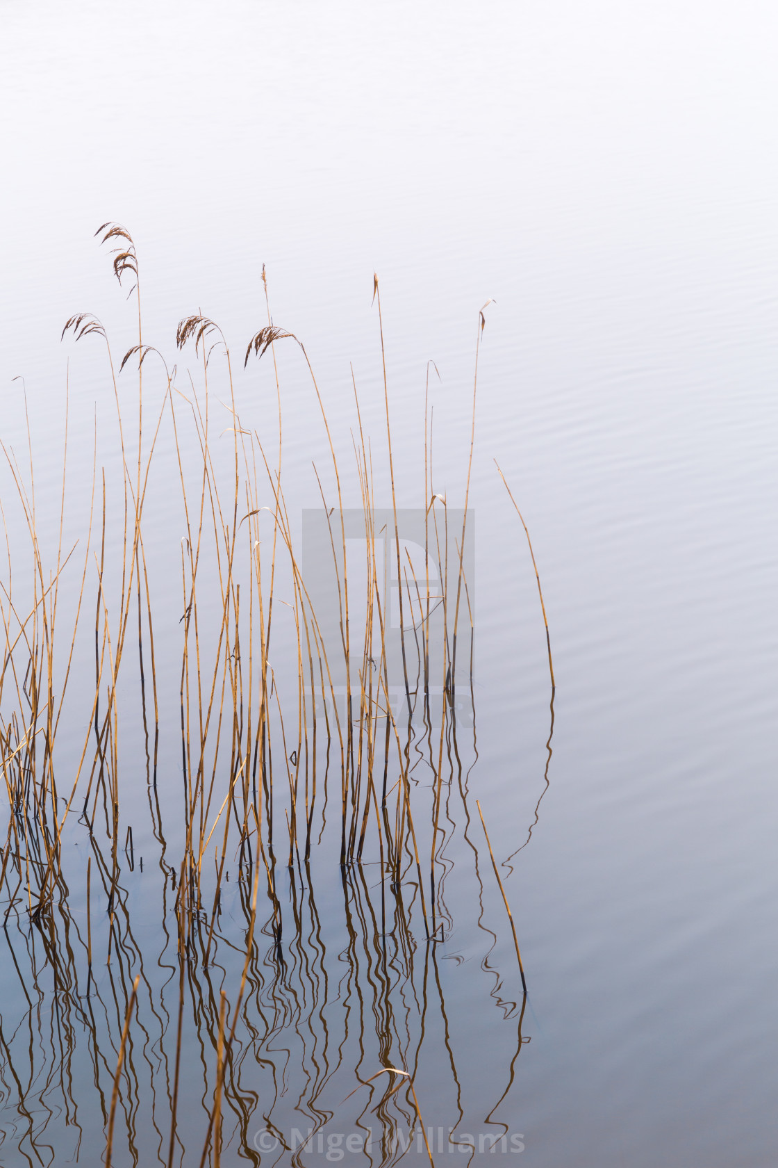 """Reeds in the Mist"" stock image"