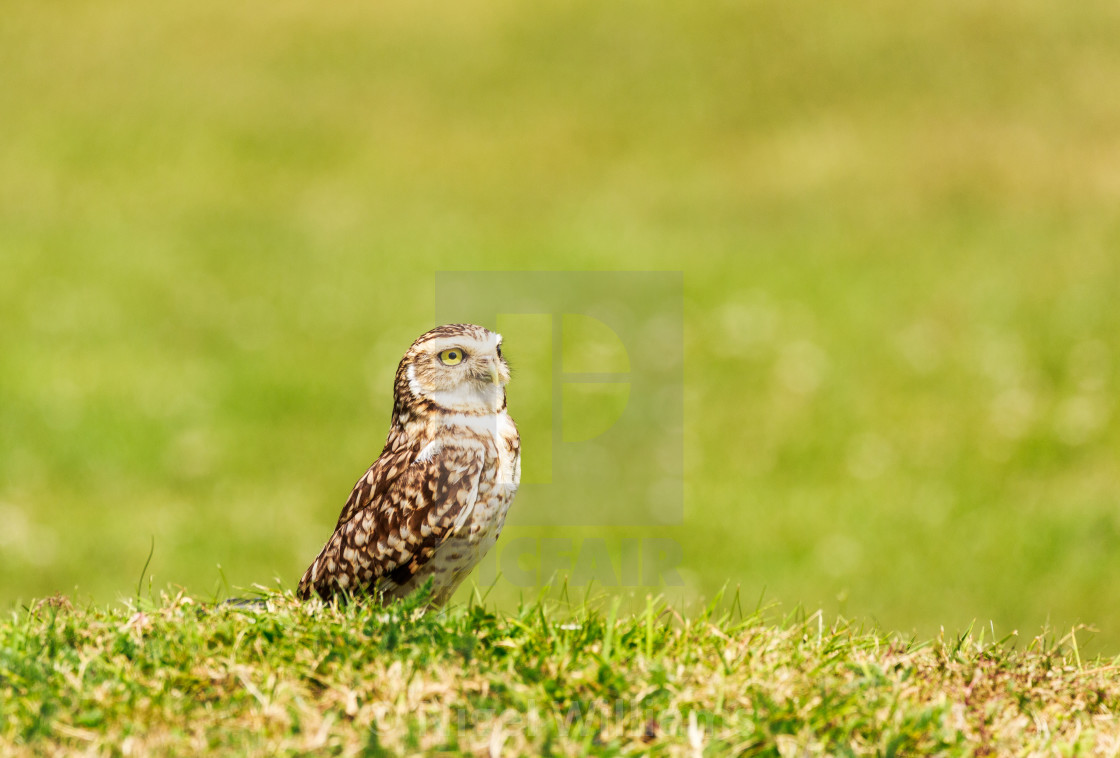 """Burrowing Owl"" stock image"