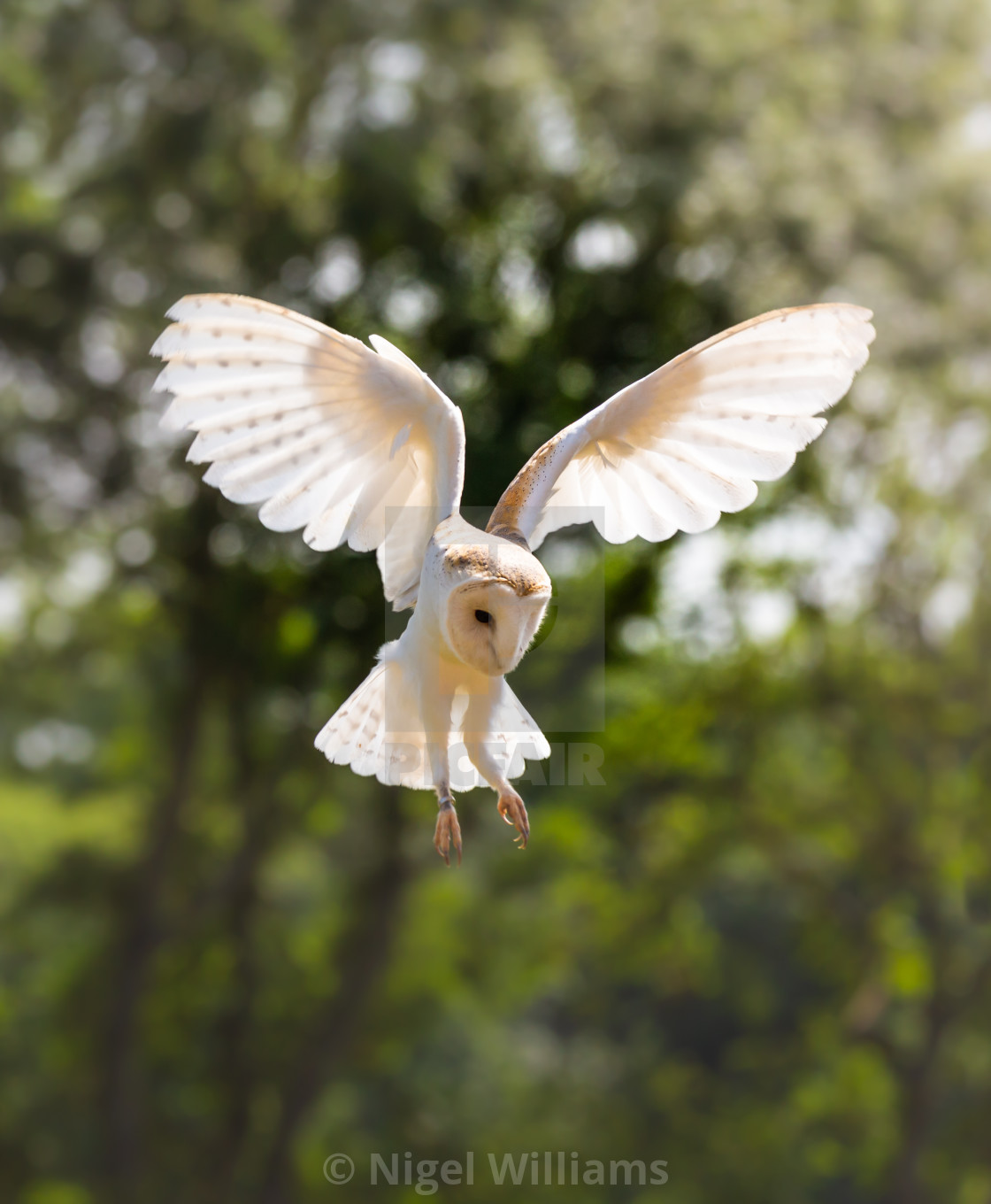 """Barn Owl in Flight"" stock image"