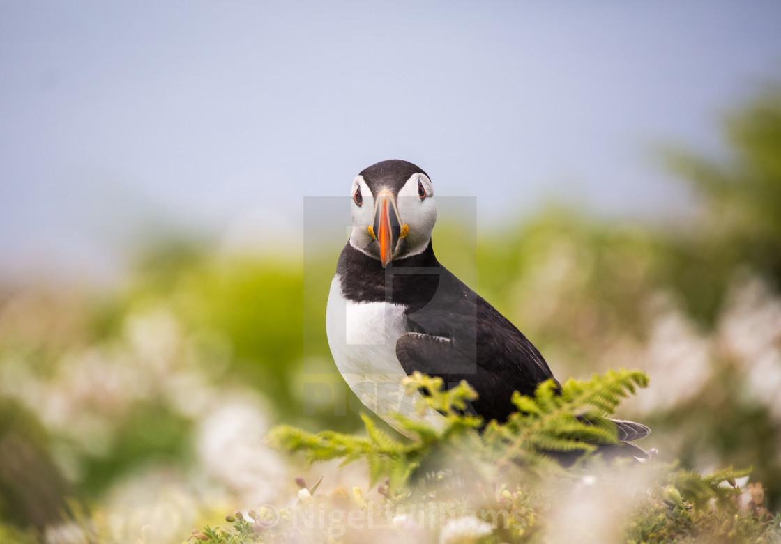 """Puffin 12"" stock image"