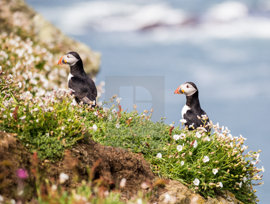 """Puffin 16"" stock image"
