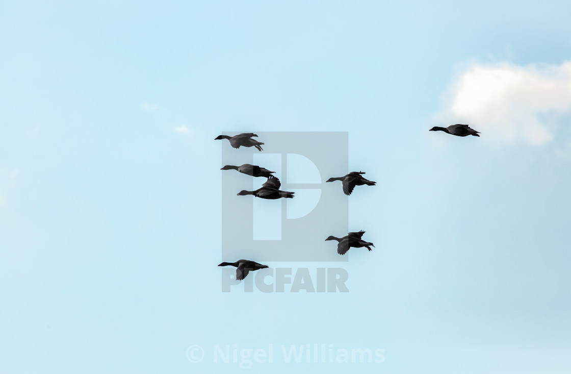"""Greylags in Flight"" stock image"