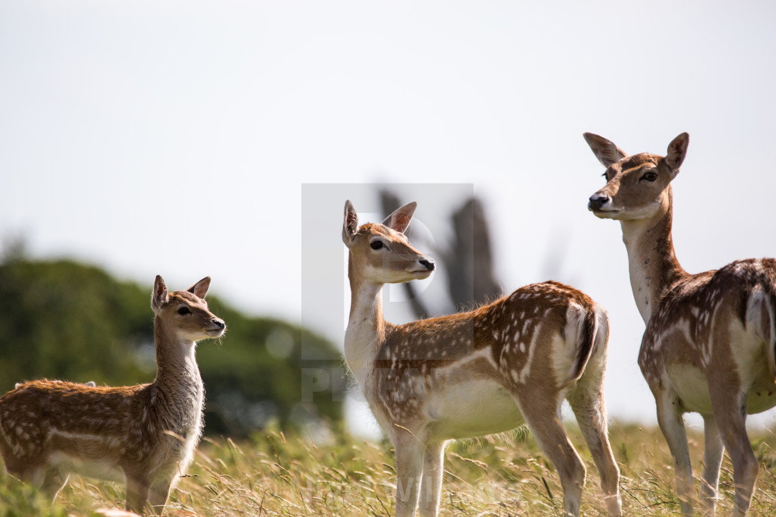 """Three Deer"" stock image"