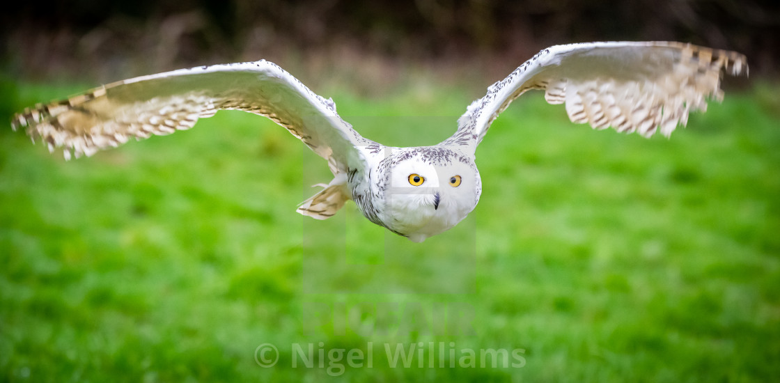 """Snowy Owl in Flight"" stock image"