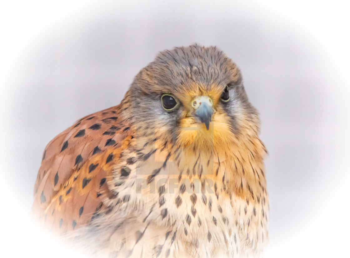 """Kestrel Portrait"" stock image"