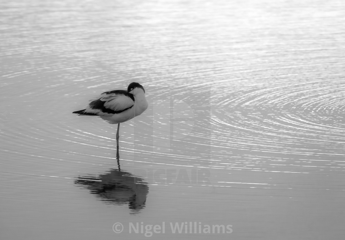 """Avocet at Rest"" stock image"