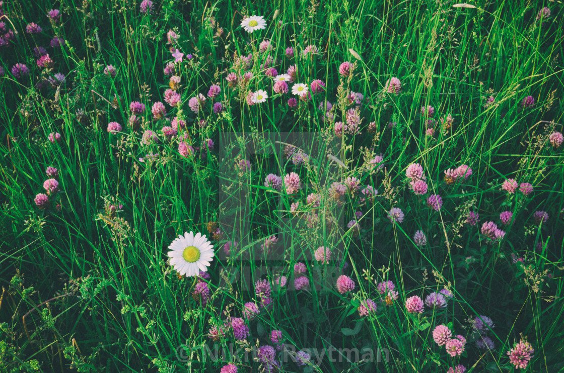 """Daisy in the field of flowers"" stock image"