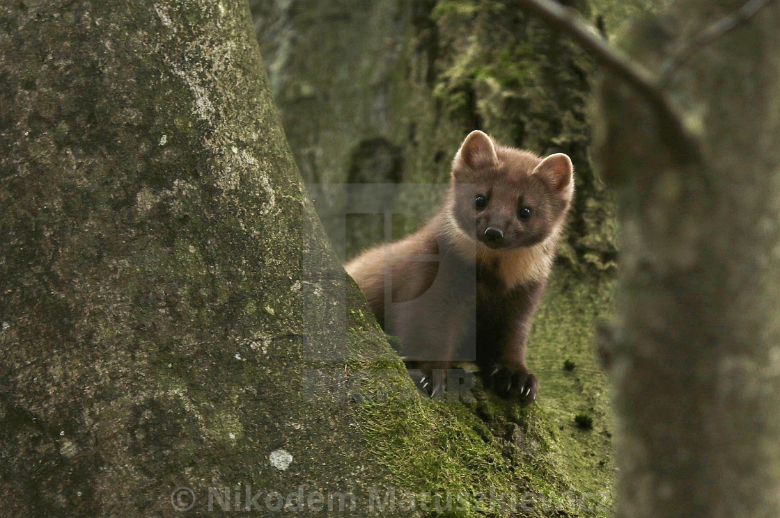 """Adorable Pine Marten encounter"" stock image"