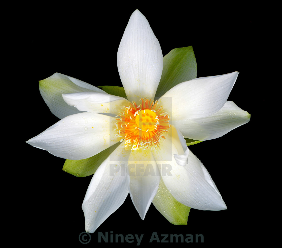 White Lotus License Download Or Print For 1240 Photos Picfair