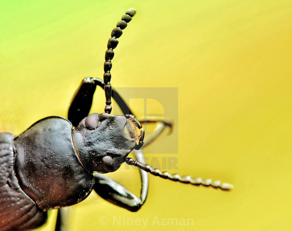 """Head of black beetle"" stock image"