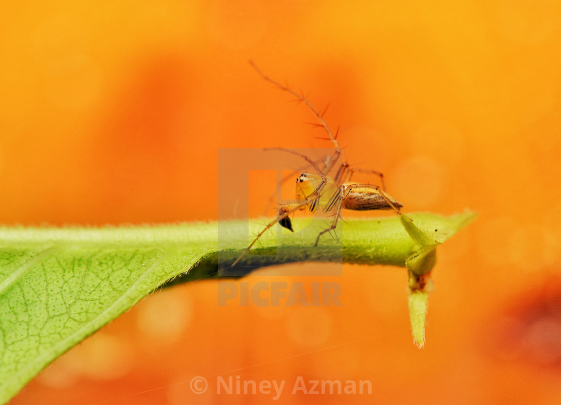 """Tiny lynx spider"" stock image"