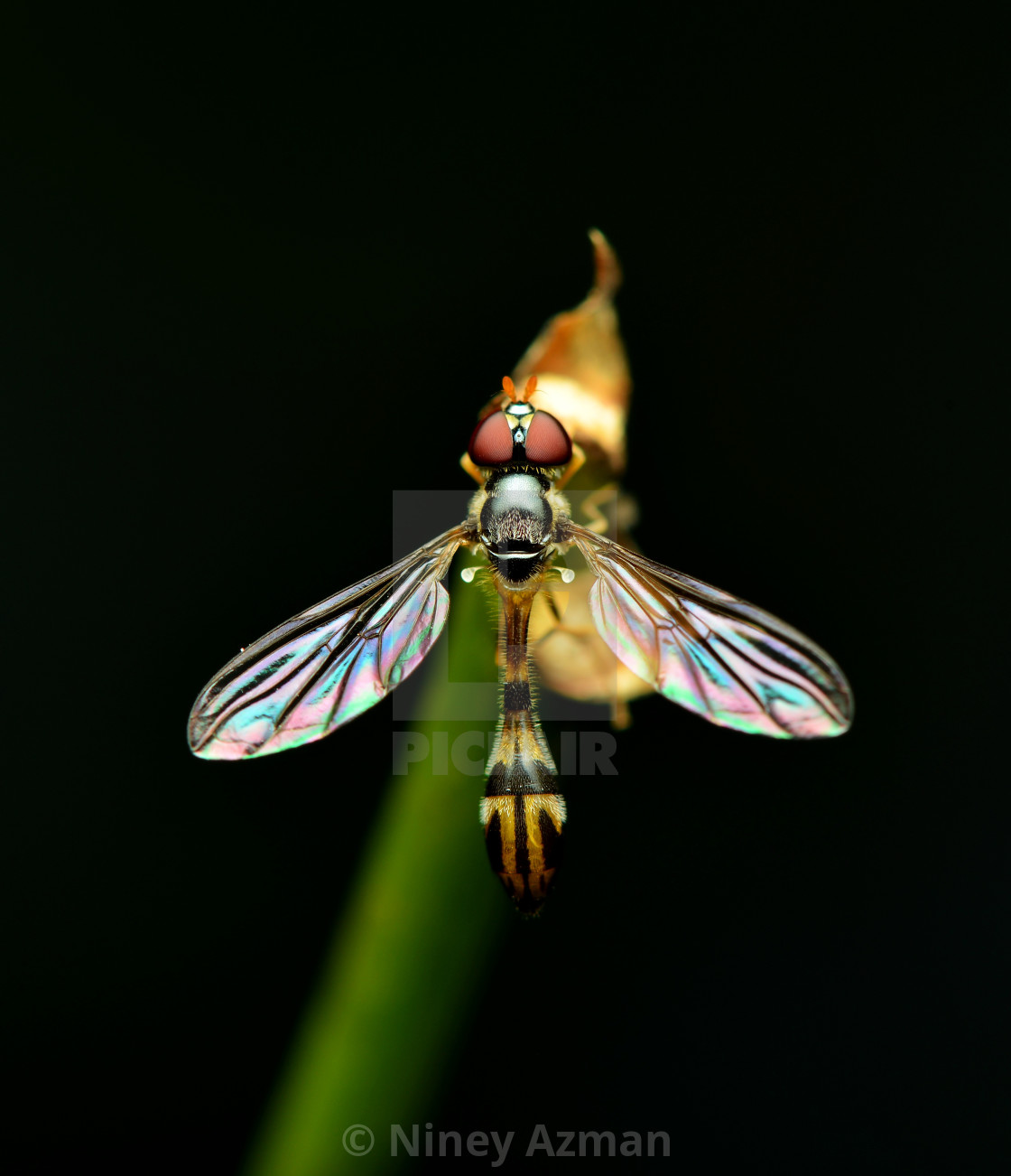 """Fruit fly"" stock image"