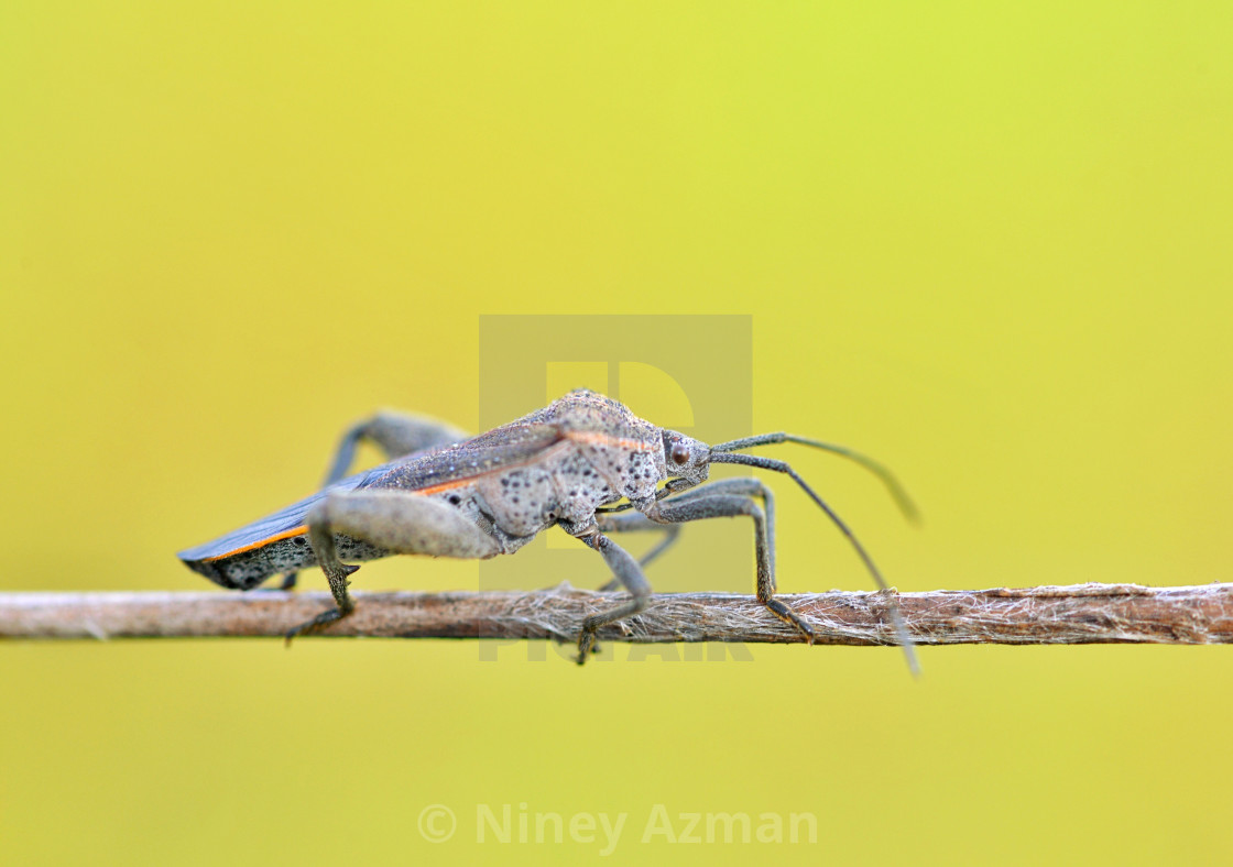 """Stink bug on stick"" stock image"