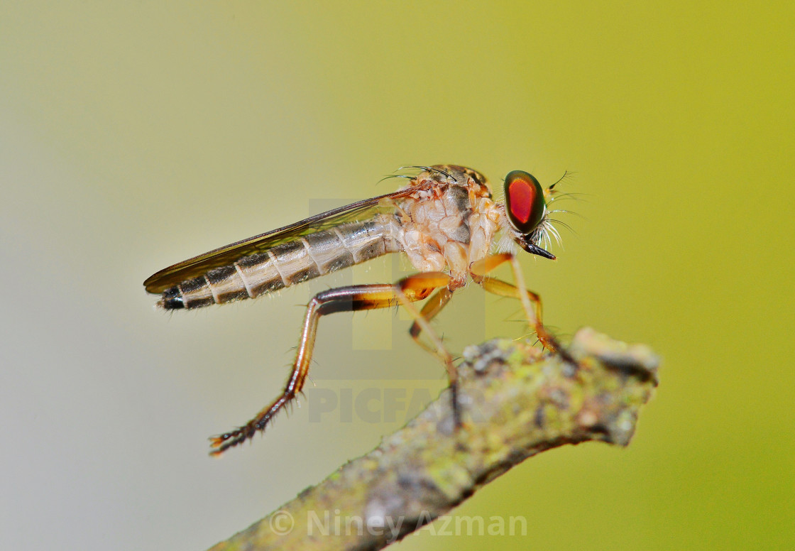 """Robber fly"" stock image"