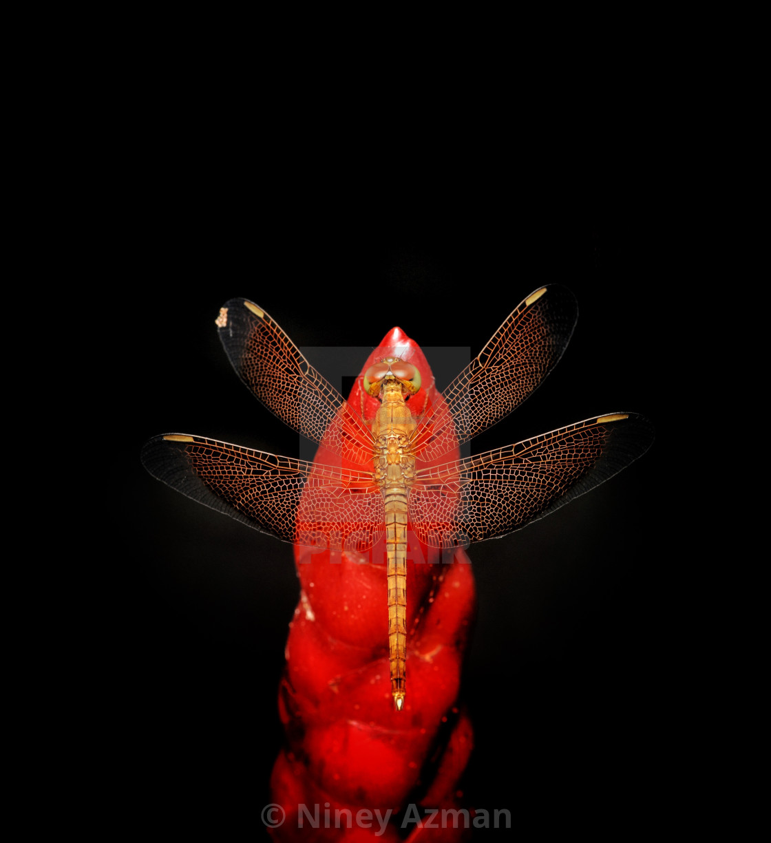"""Dragonfly perched on red flower"" stock image"