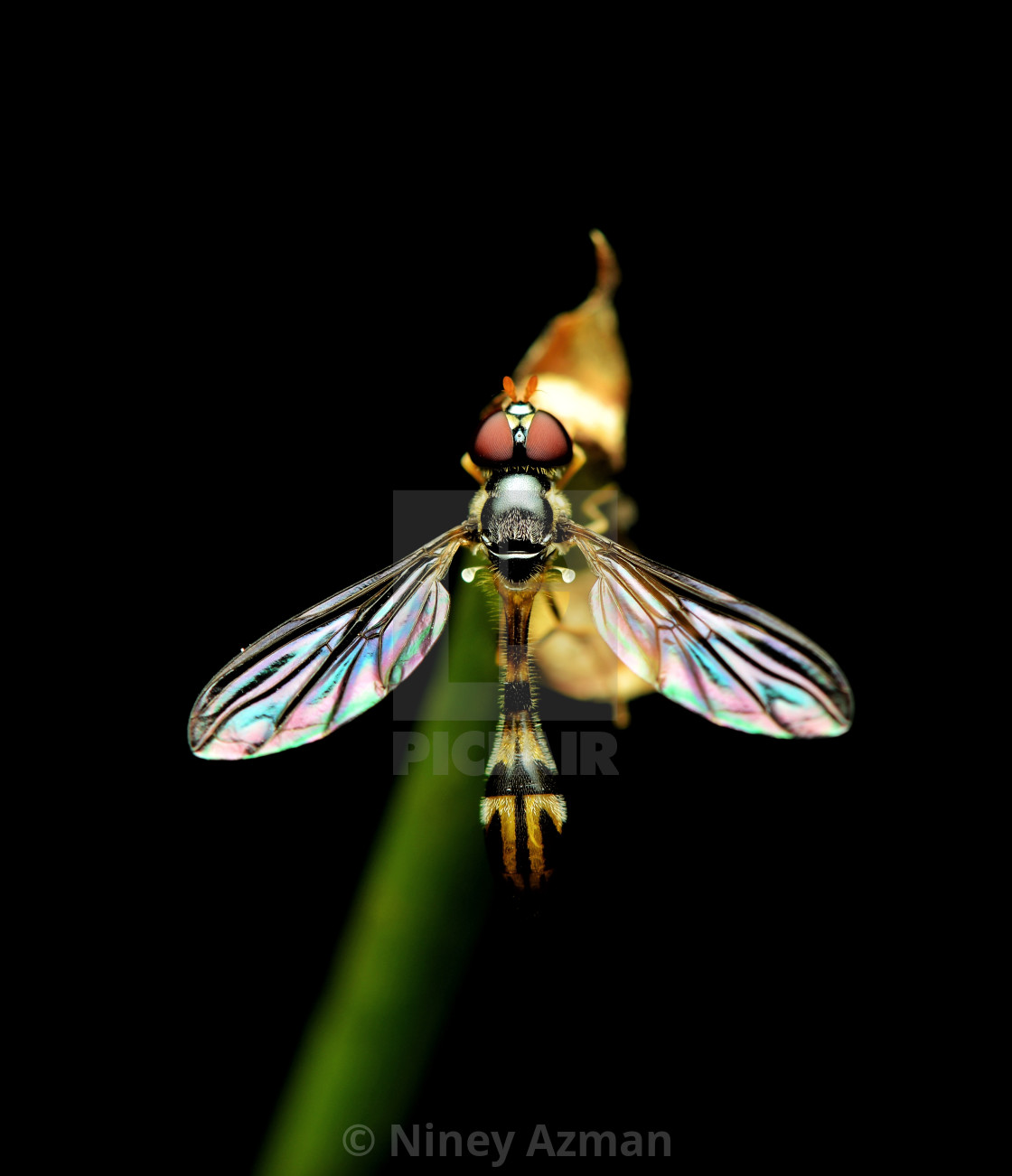 """Fruitfly"" stock image"