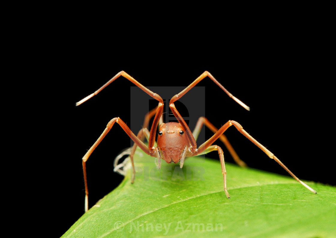 """Ant-Like Spider"" stock image"