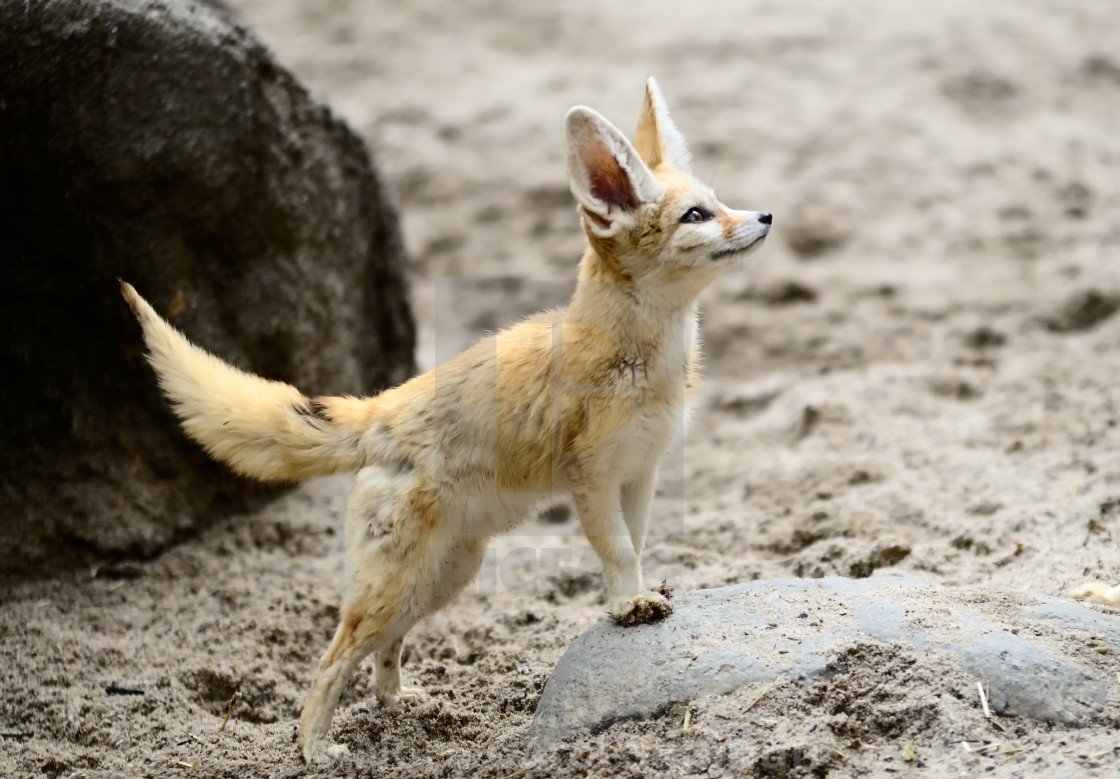 Cute Fennec fox cubs - License, download or print for £6 ...