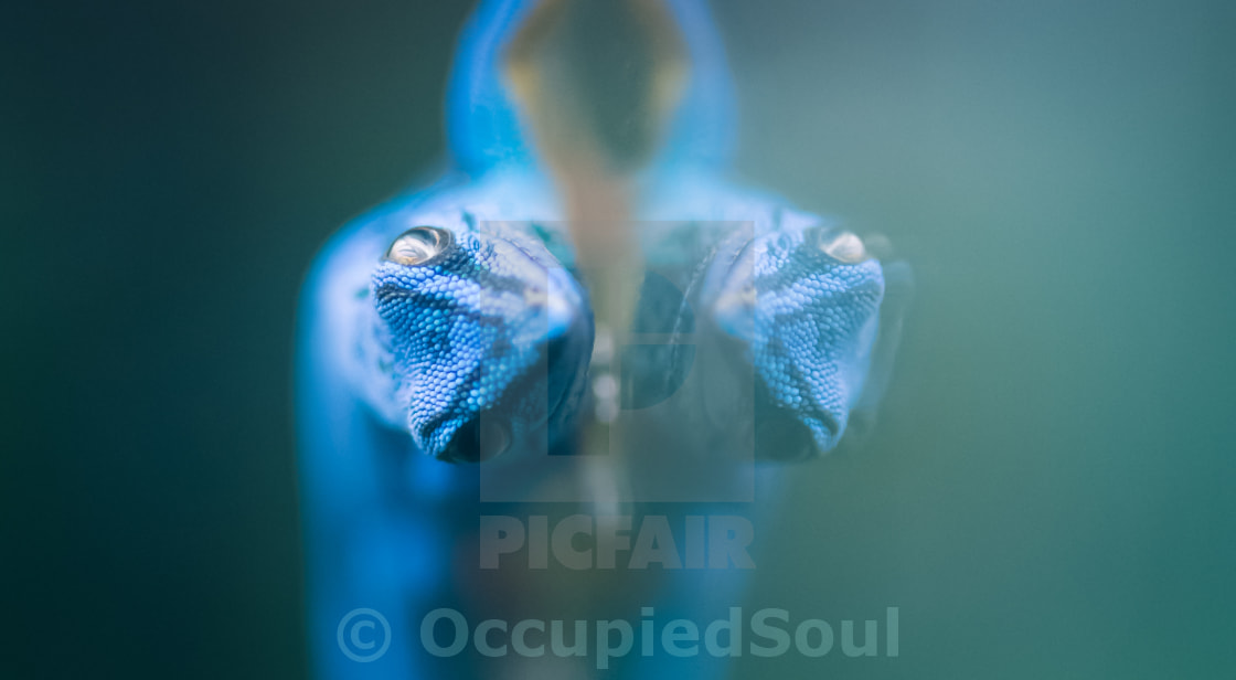 """Blue Gecko Reflection"" stock image"