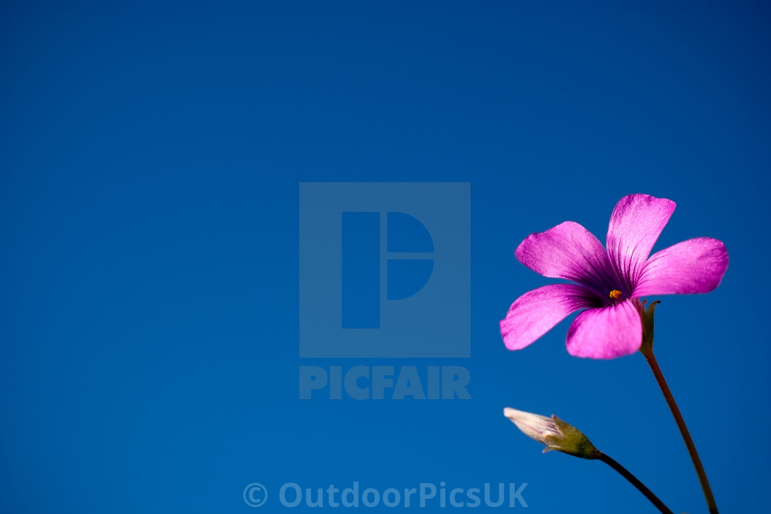 """Purple flower against clear blue sky"" stock image"