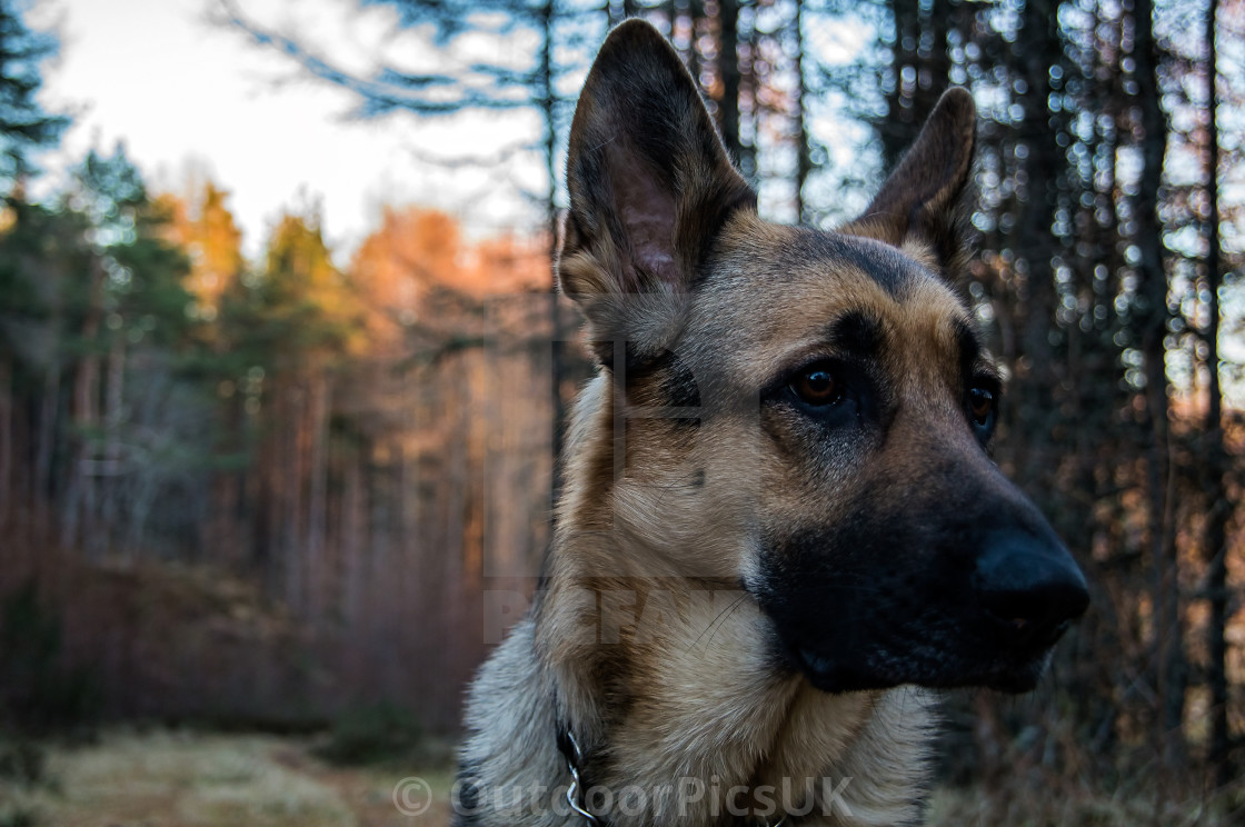 """German Shepherd in Scottish woodland"" stock image"