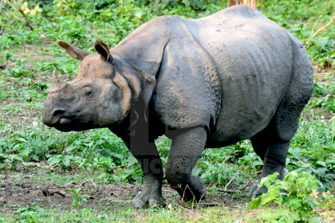 A stray rhino - License, download or print for £12 40