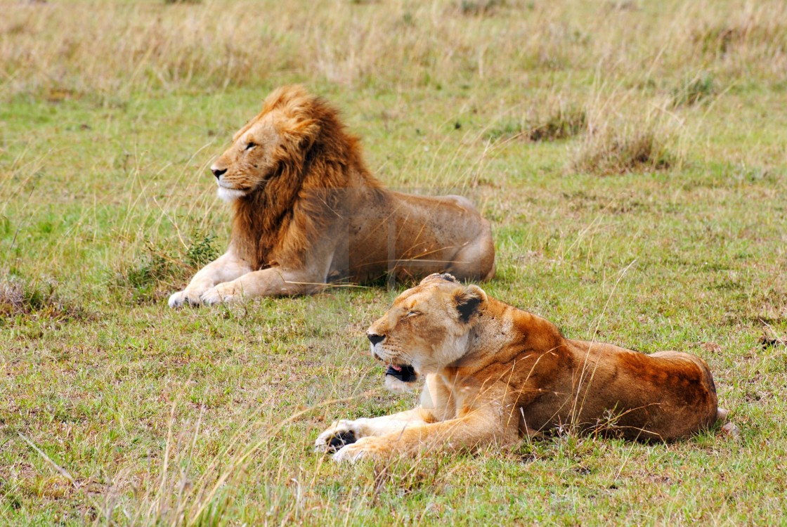 """AFRICAN LION PAIR"" stock image"