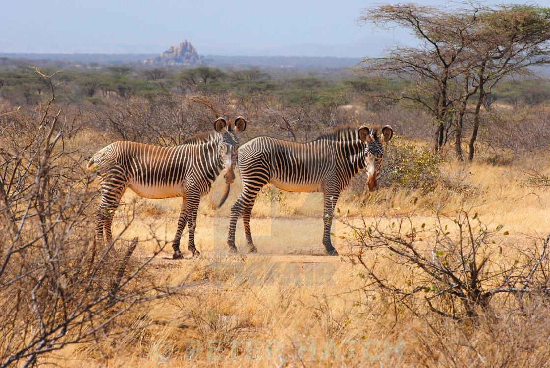 """""""Grevy's Zebra"""" stock image"""