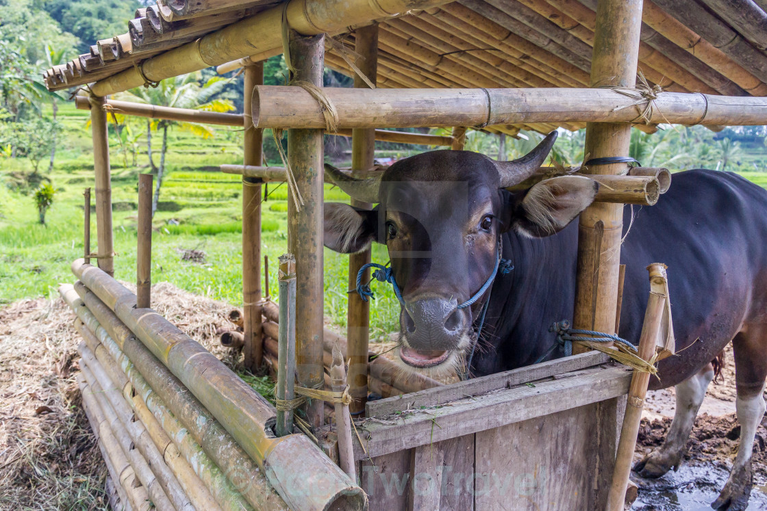 """""""happy cow"""" stock image"""