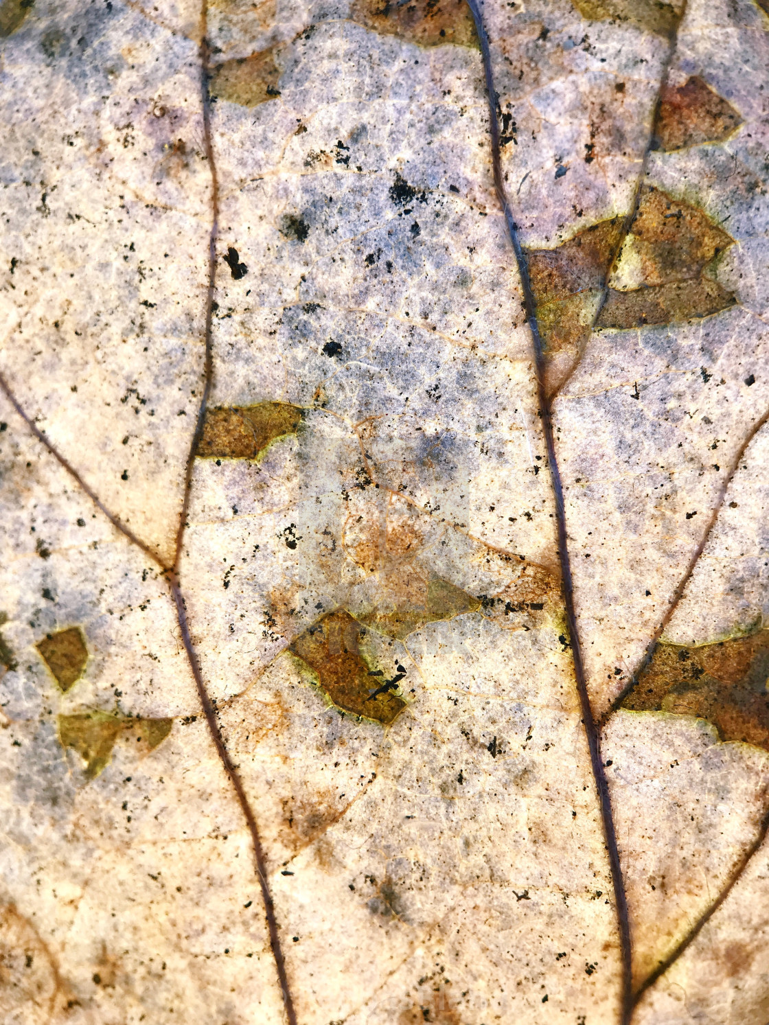 """""""Macro study of a dried pressed leaf."""" stock image"""