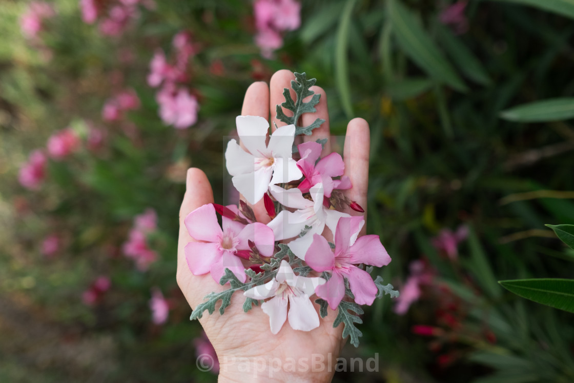 """""""A handful of white and pink oleander in Athens, Greece"""" stock image"""