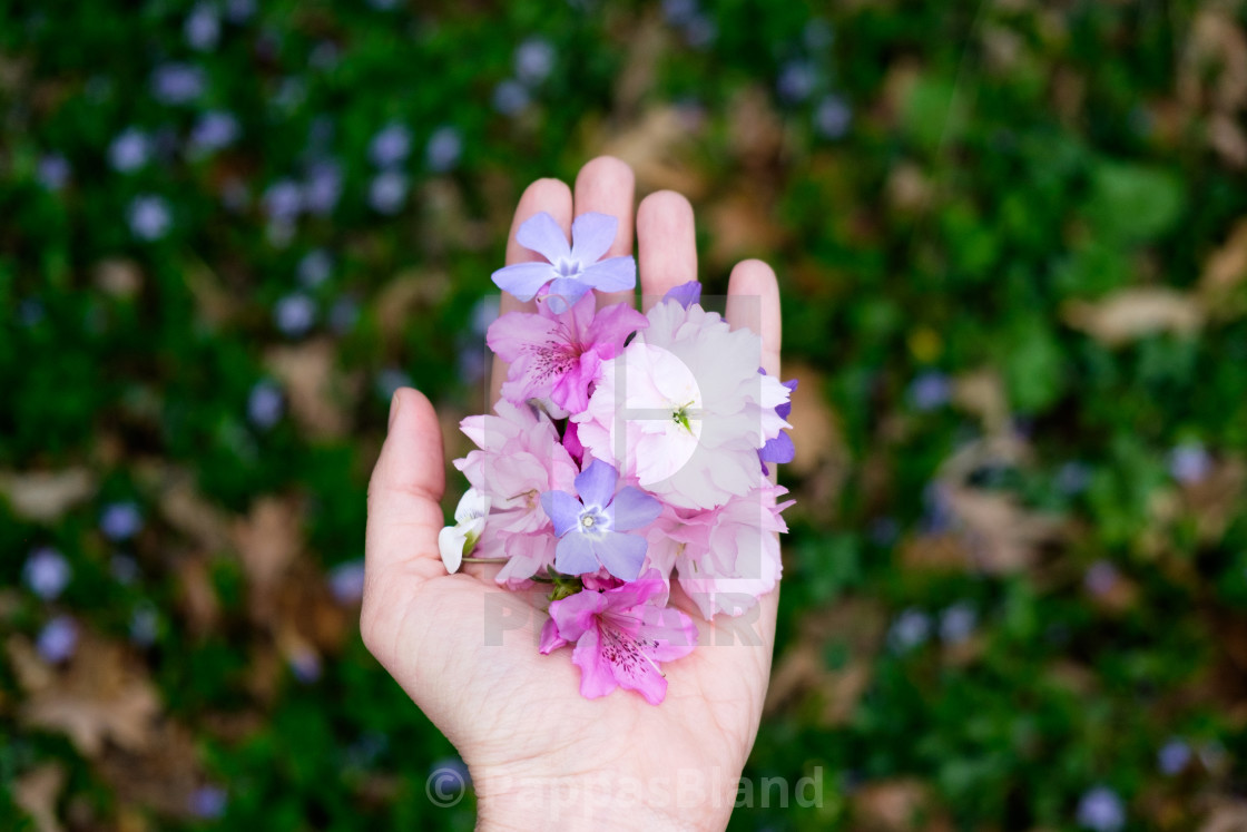 """""""A handful of cherry blossoms, azalea, periwinkle and violets."""" stock image"""