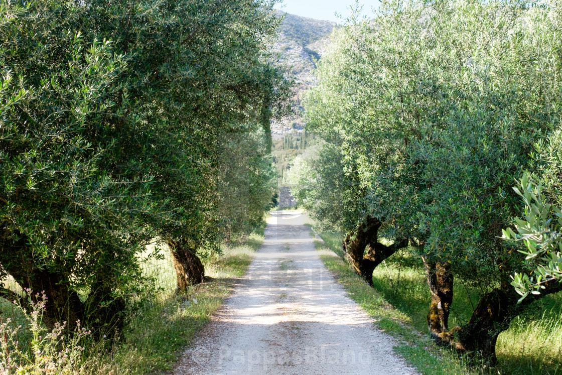 """""""A gravel road through an old olive grove."""" stock image"""